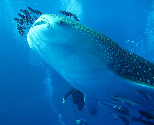 Китовая акула дайвинг сафари на острова Бразерс Красное море