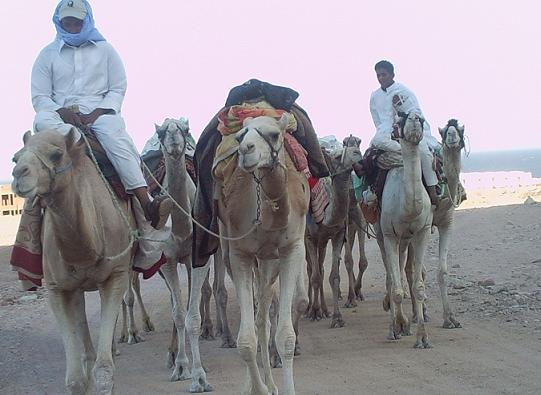 camels-small.jpg